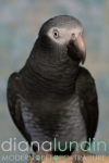 Cedric the African Grey Parrot