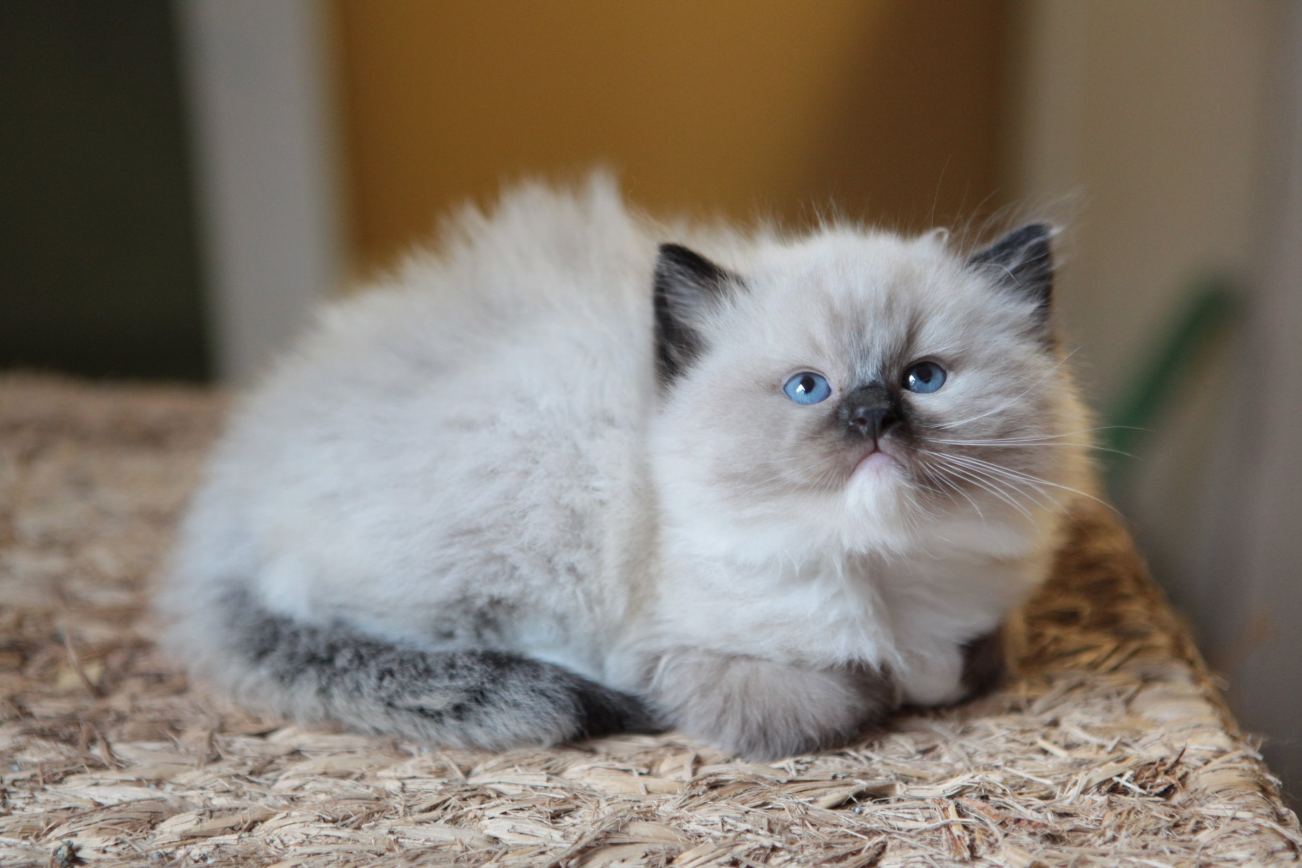 Ragdoll cats for sale in nc