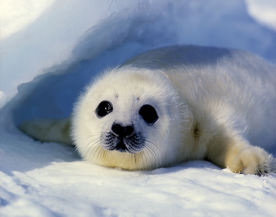 Baby harp seal - Jim Zuckerman Photography